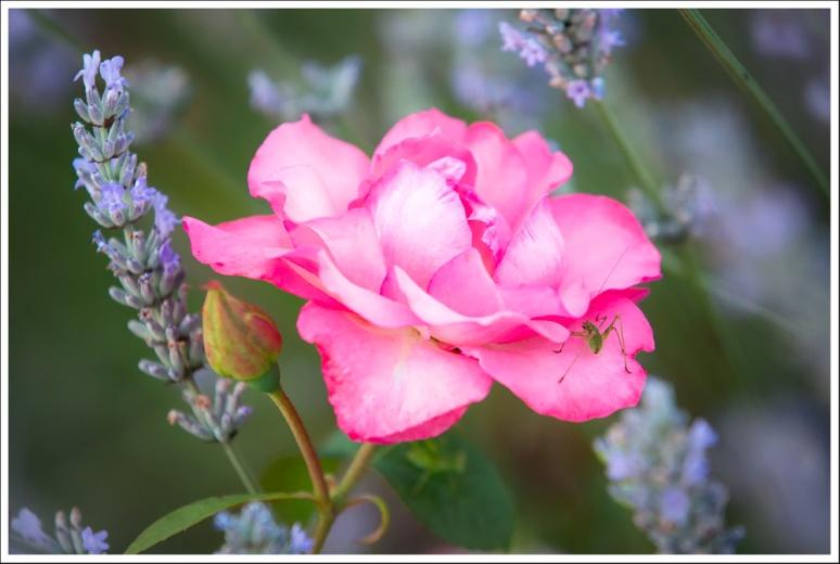 Rose, lavender and grasshopper
