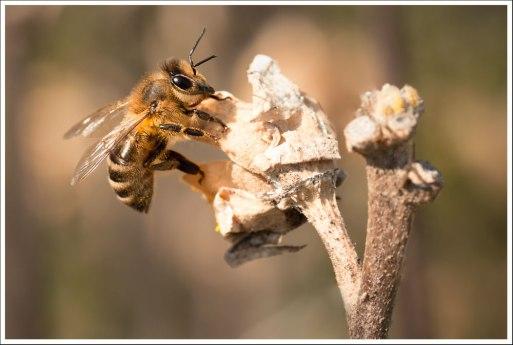 L'abeille myope