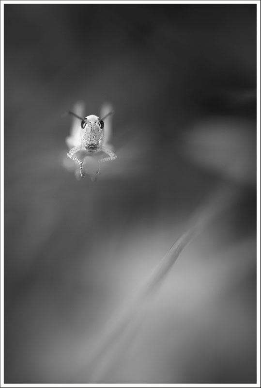 Le criquet flottant